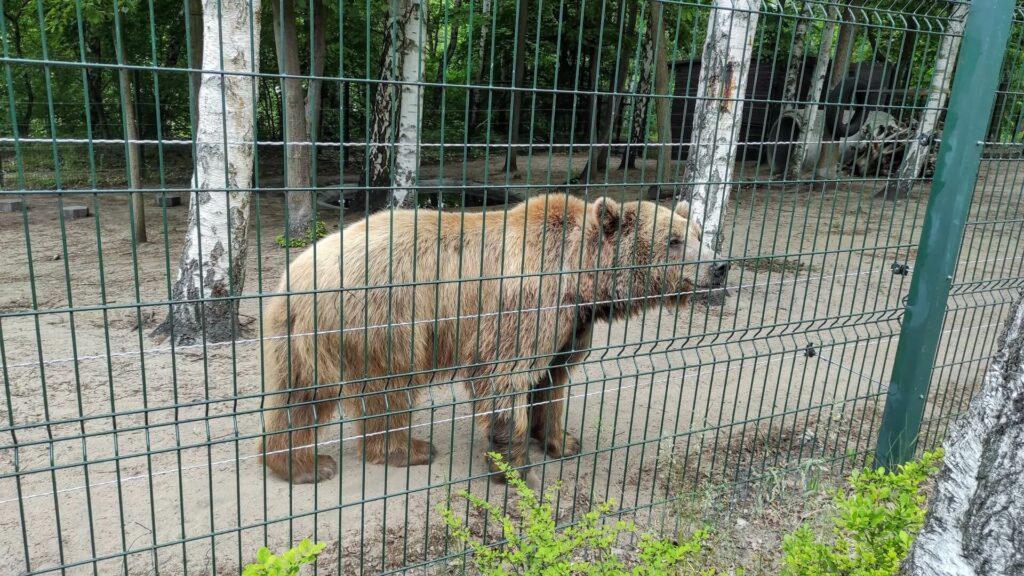 Niedźwiedź w poznańskim ogrodzie zoologicznym